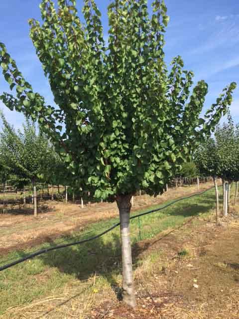 Produzione Piante Da Frutto : Piante da frutto archivi vivaio dei molini