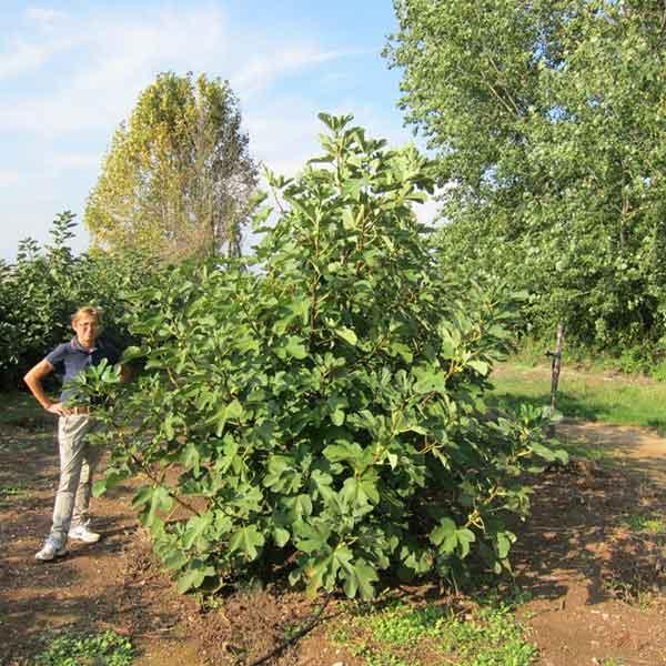 Piante da frutto archivi vivaio dei molini for Piante da cespuglio